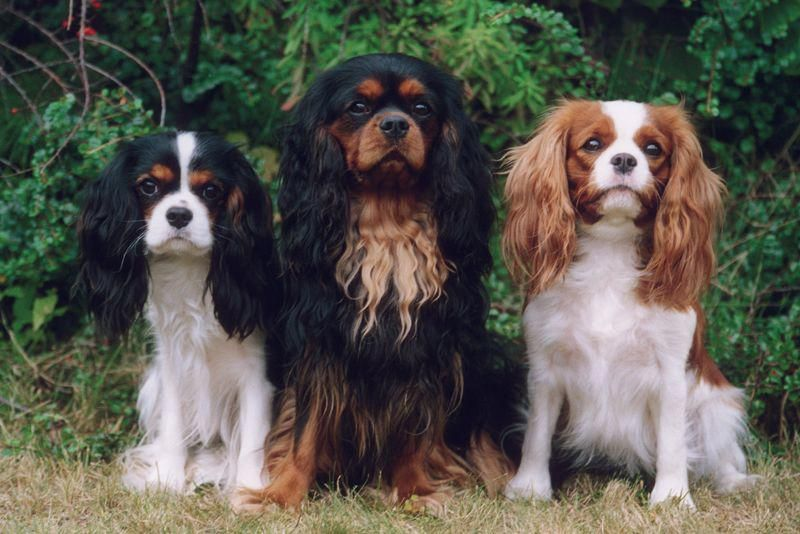 All The Things I Enjoy About The Cute Cavalier King Charles