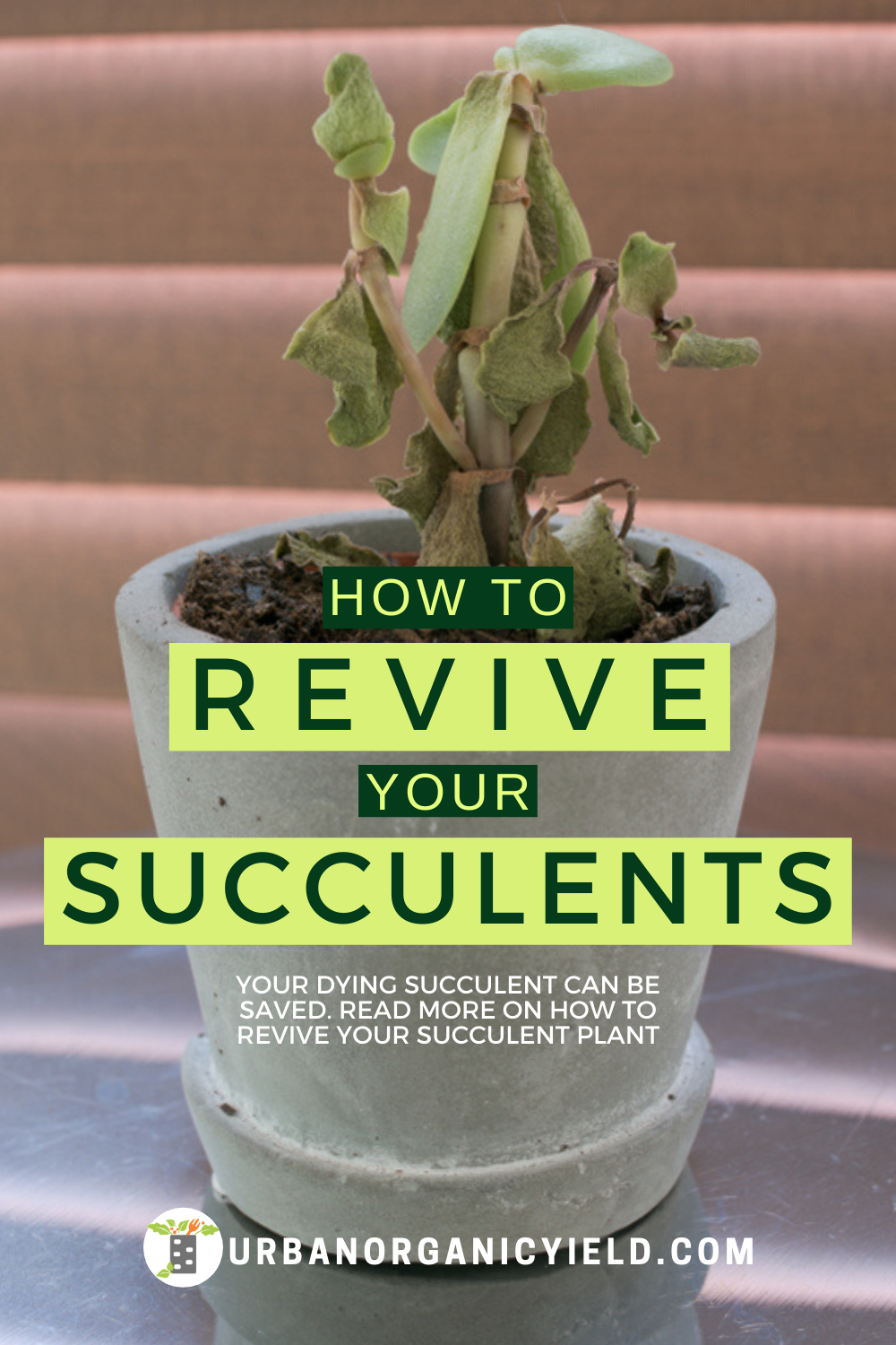 Why Are My Succulents Dying? Learn How To Revive A Succulent Plant
