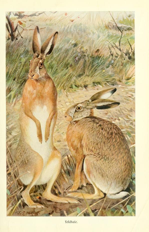 Hare, Brehms Tierleben: Allgemeine kunde des Tierreichs, Vol XI, Alfred Edmund Brehm, 1911.