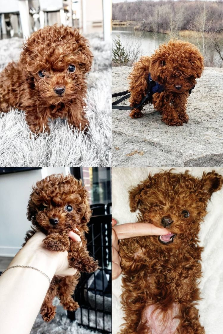 micro teacup poodle puppies for sale near me in 2020