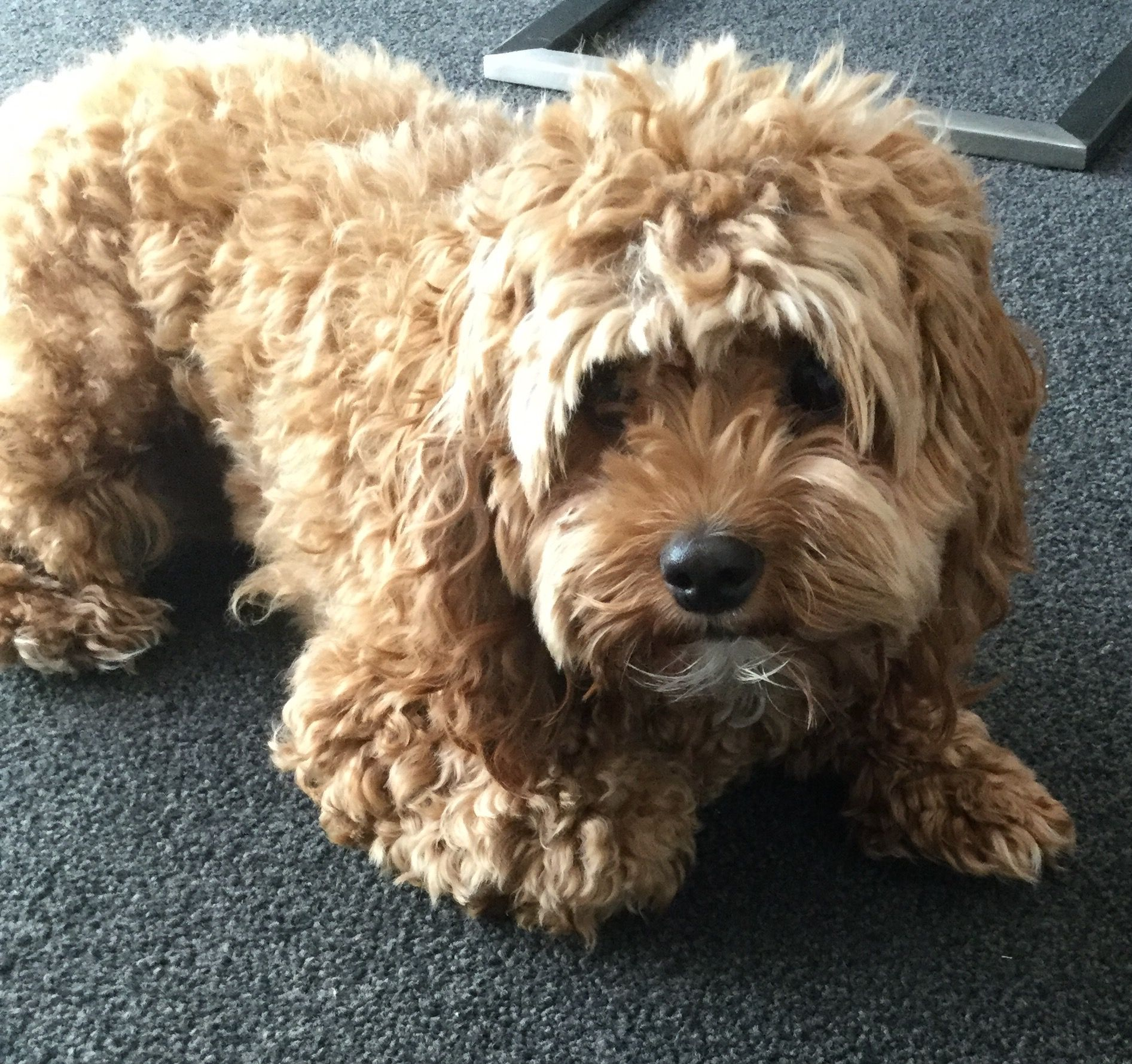 Toy cavoodle My Toy Cavoodle Pinterest Toy and Dog