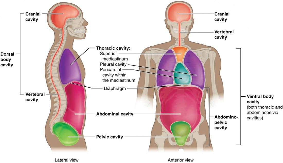 This illustration shows a lateral and anterior view of the body and ...