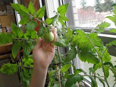 My indoor tomato plant some of my favorite things pinterest my indoor tomato plant workwithnaturefo