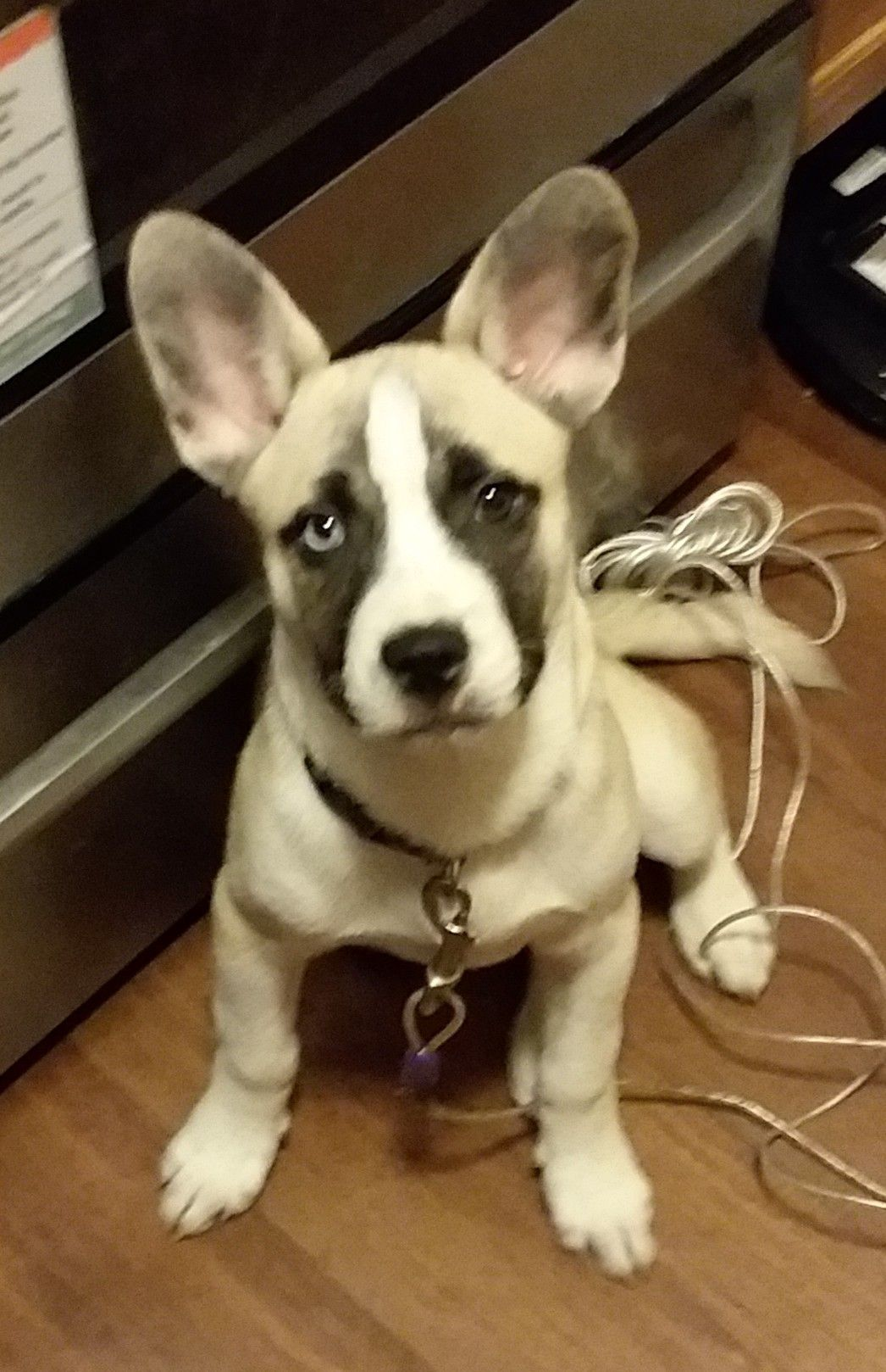 French Bulldog Husky Mix French Bulldog Bulldog