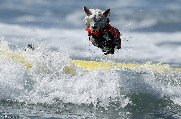 Surfs pup! Surf dog Joey, a West Highland Terrier, bails on his surfboard while competing