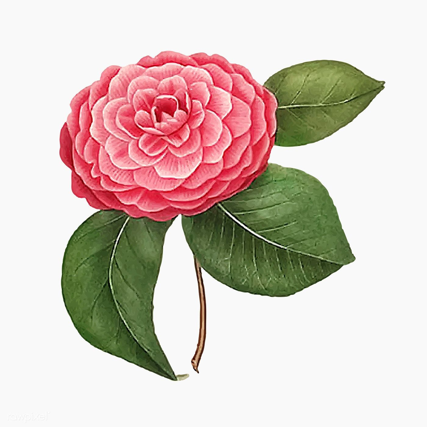 Download Premium Vector Of Pink Camellia Rose Flower Vector 2090186 In 2020 Flower Illustration Flowers Flower Painting