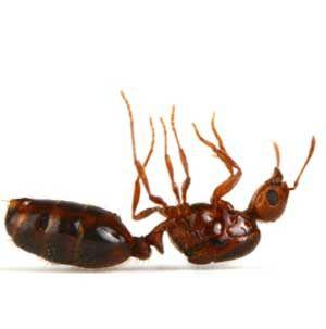 Como Acabar Con Las Ratas En El Campo Como Eliminar Las Hormigas Dentro De La Casa De Forma Natural
