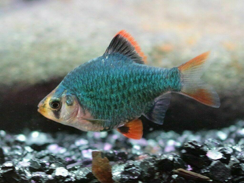 Green Tiger Barb Live Tropical Freshwater Aquarium Fish Tank Raised Barbs In 2020 Aquarium Fish Tank Fish Fish For Sale