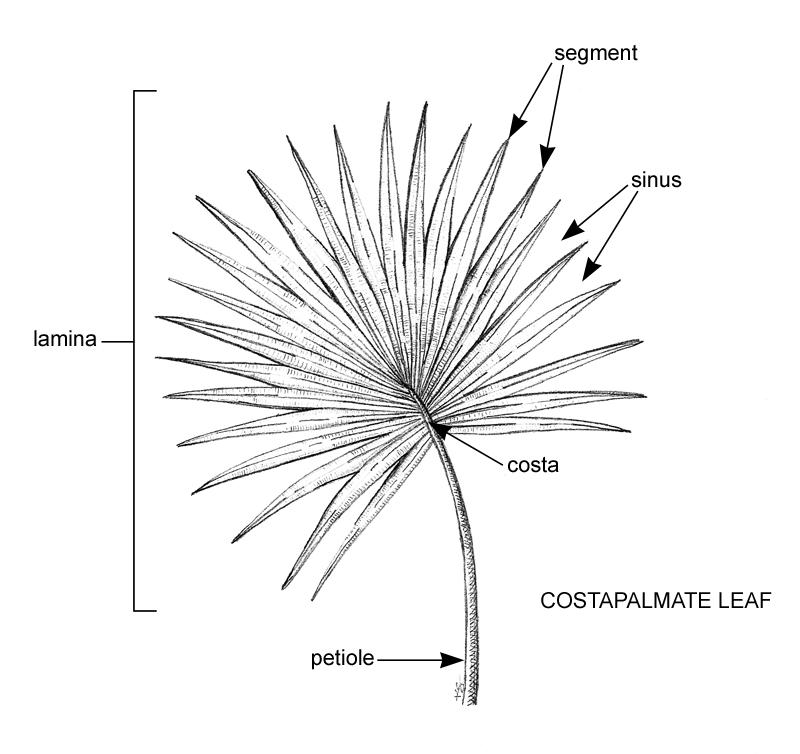 Anatomy Costa Palmate Leafg 800754 Flora Fauna
