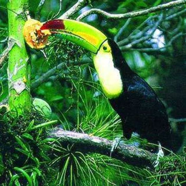 Hungry Tucan Rainforest Animals African Rainforest Baby Zoo