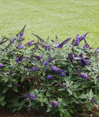 Buddleia Pugster Blue Butterfly Bush Flowers Perennials