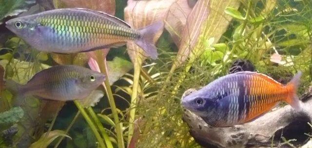 Männchen (rechts) und Weibchen (links) des Harlekin-Regenbogenfischs