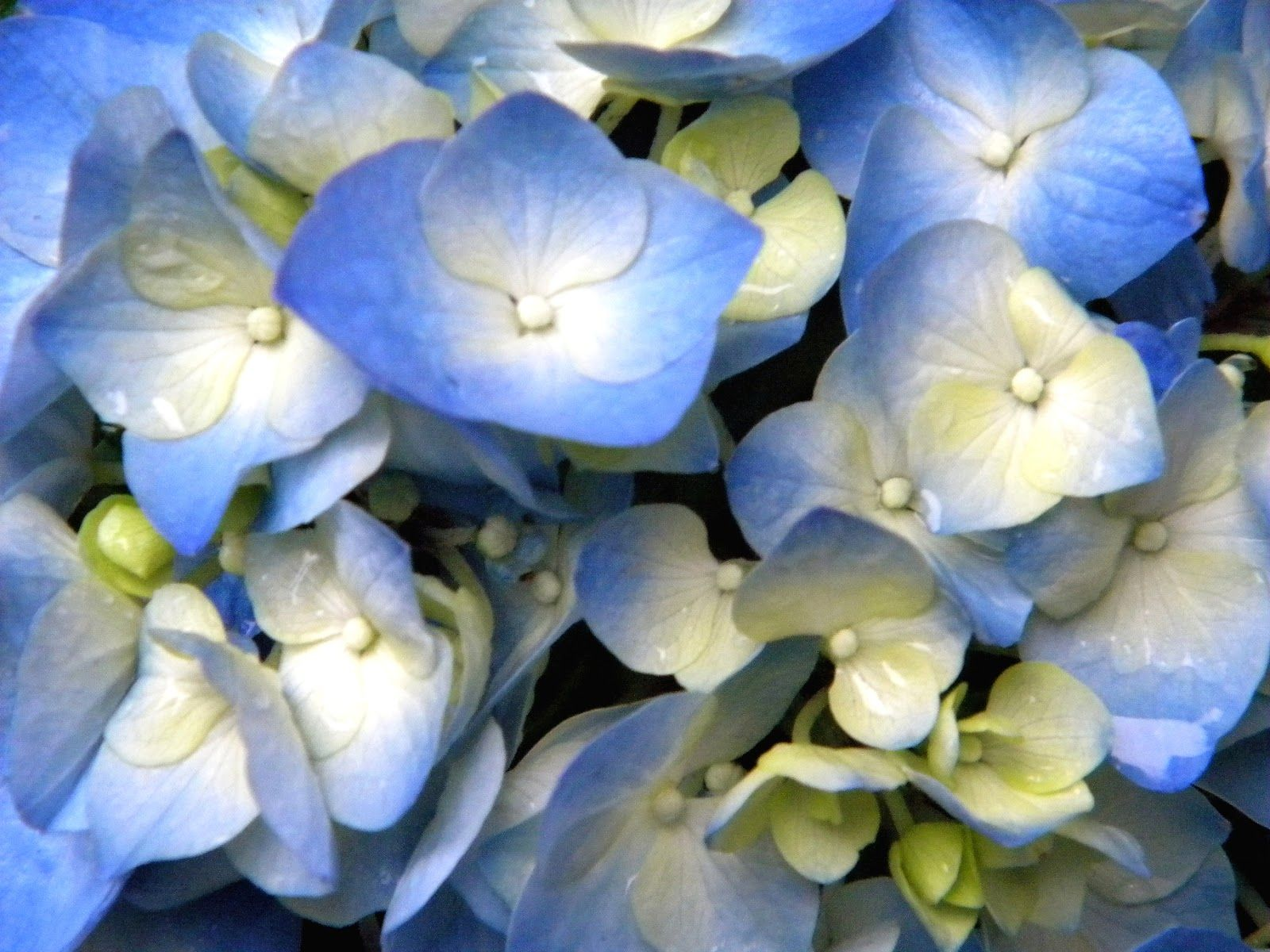 Hydrangea Blue Spring Flowers In Nyc Just In Front Of My Building