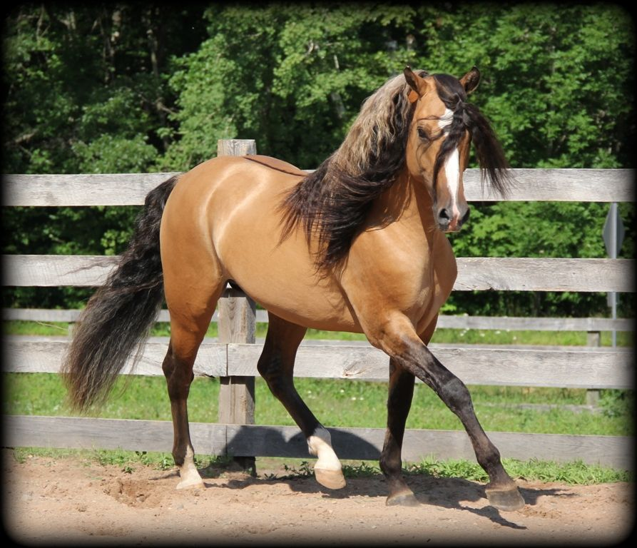Blaze 17 13 Copy In 2020 Horses Stallion Duns