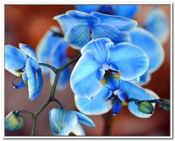 Blue Orchids Flowers Meaning Blue Orchid Flower Blue Orchids Beautiful Flowers