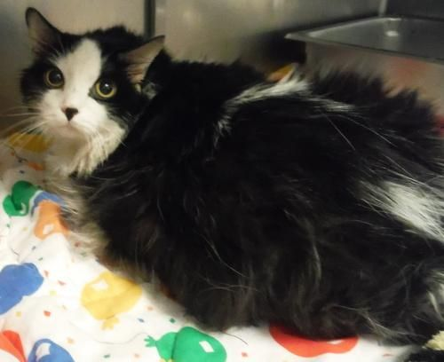 Burt Domestic Long Hair Black And White Cat Loudon Tn Adoptacat With Images Black Hair Cat Adoption Long Hair Styles
