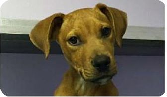 Chicago Heights, IL Boxer Mix. Meet Ziggy, a puppy for