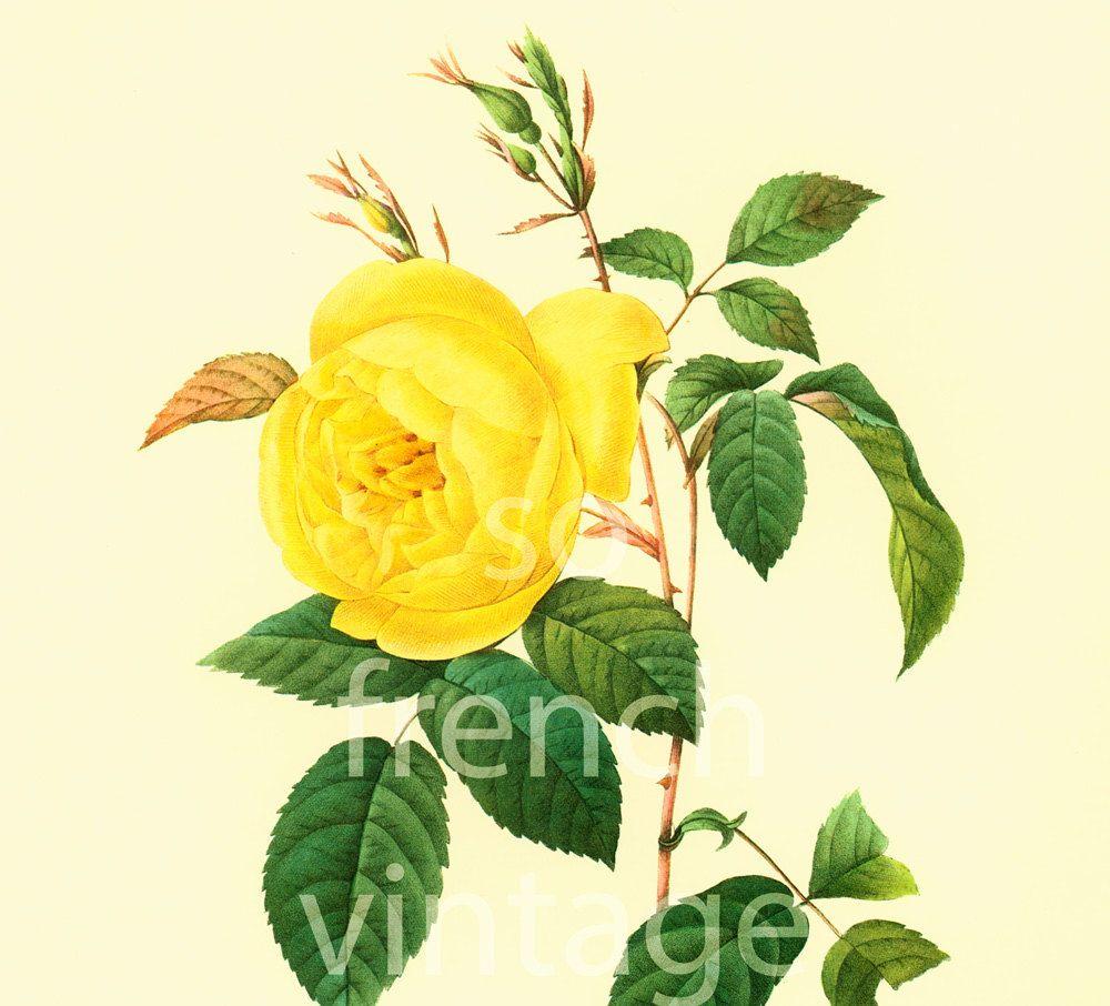 Garden wall art flowers  Rosa Indica Large Size Botanical print REDOUTE FLOWERS Garden Nature