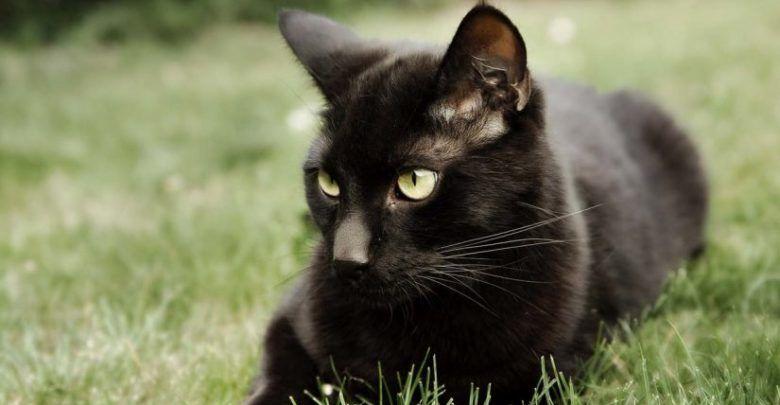 تفسير حلم القط الاسود يهاجمني في المنام للمتزوجة والعزباء White Cat Breeds Black Cat Breeds Black Cat