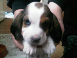 Bassett hound puppies Dogs and puppies for adoption