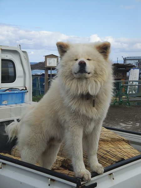 Wasao - Akita Dog