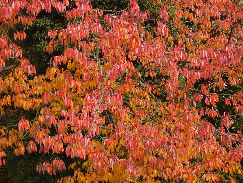 Herbstbaum  im  Sauerland