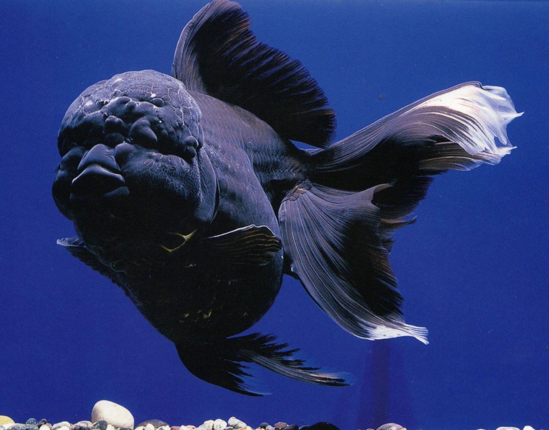 A Black Oranda Goldfish Had A Vaguely Human Like Head Also Looks Like A Blackberry Oranda Goldfish Goldfish Goldfish Aquarium
