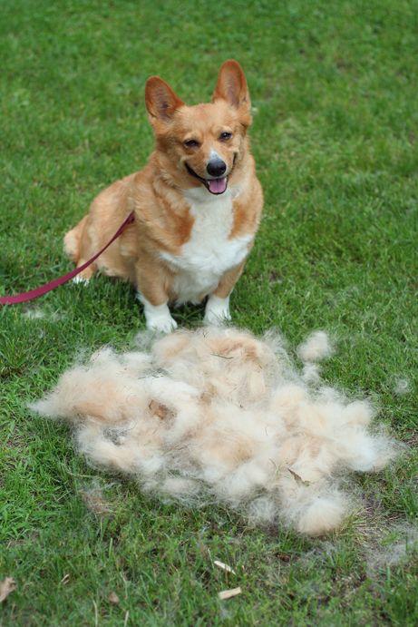 Attack Of The Furminator Corgi Dogs Dog Shedding