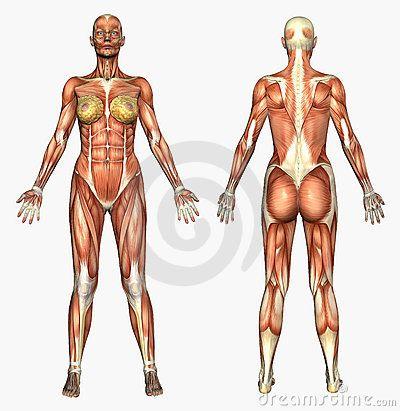Human Anatomy Muscle System Female Anatomia Humana