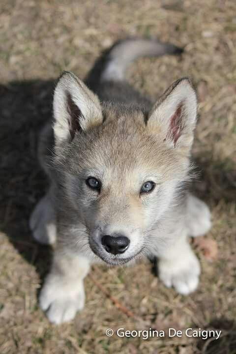 Wolfdog puppy, Rue