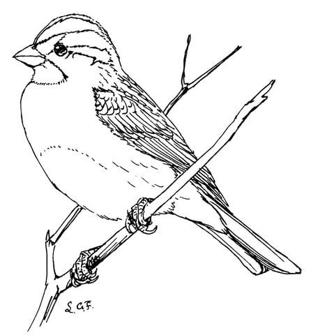 White Throated Sparrow Coloring Page Bird Coloring Pages Egg