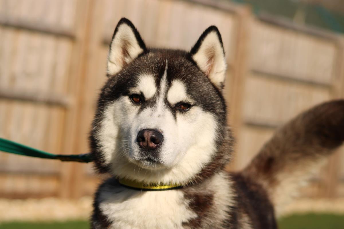 Adopt A Dog Ghost Siberian Husky Dogs Trust Dog Adoption