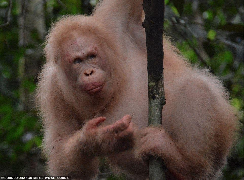 World's only ALBINO orangutan, Alba, spotted alive and