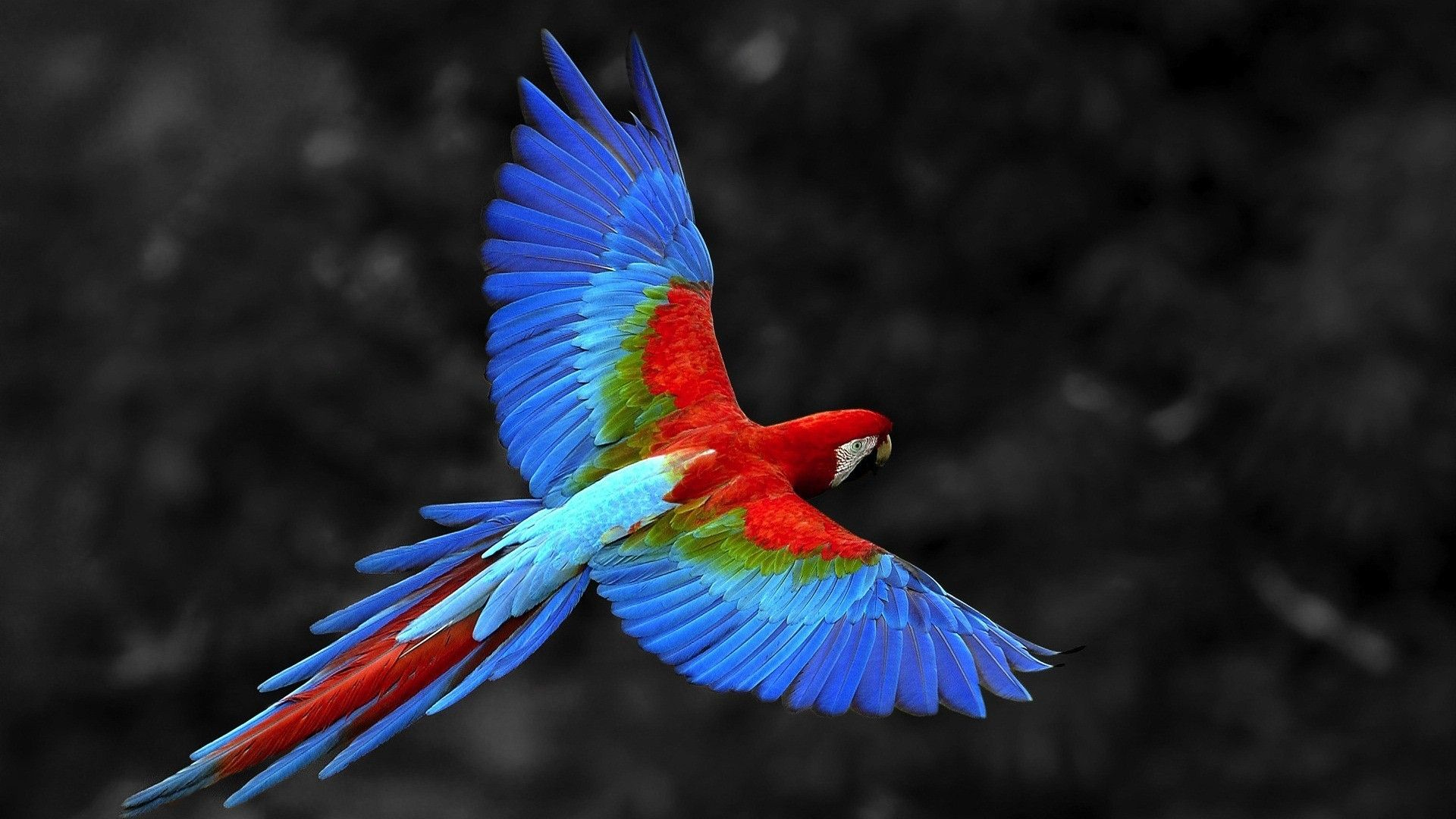 Colorful Parrot Flying Bird Wallpaper Animal Wallpapers Hd