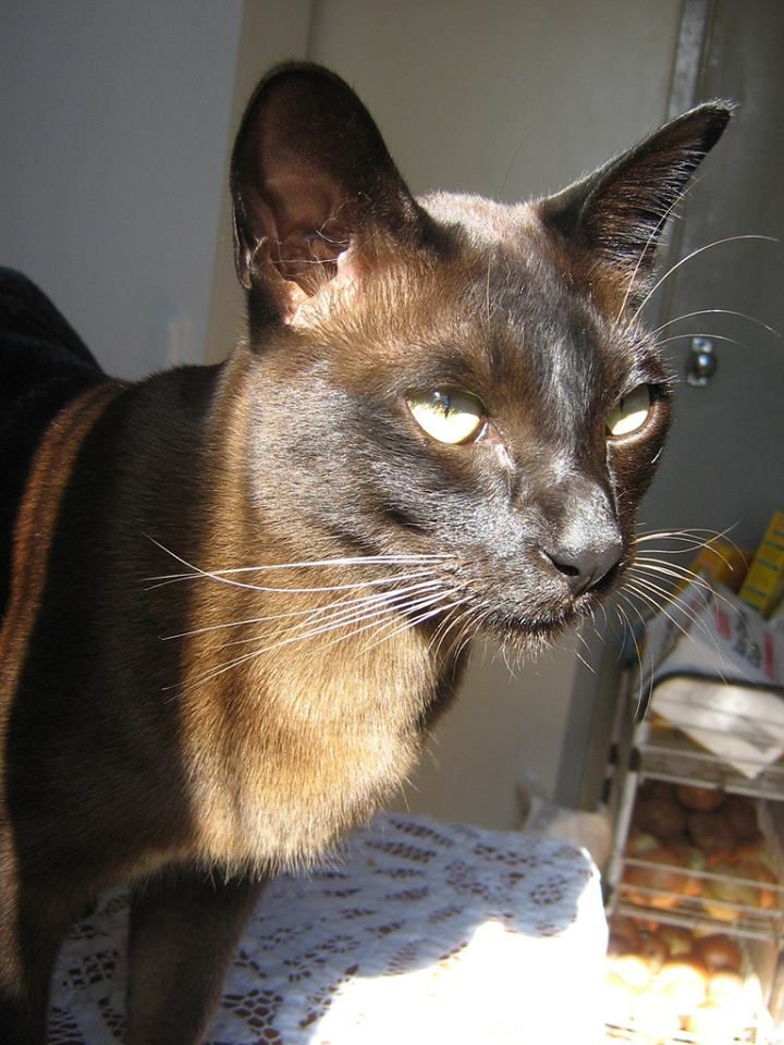 lovely brown colour... Burmese cat, Burmese kittens, Cat