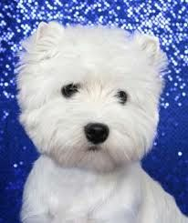 west highland terrier pics - Google Search