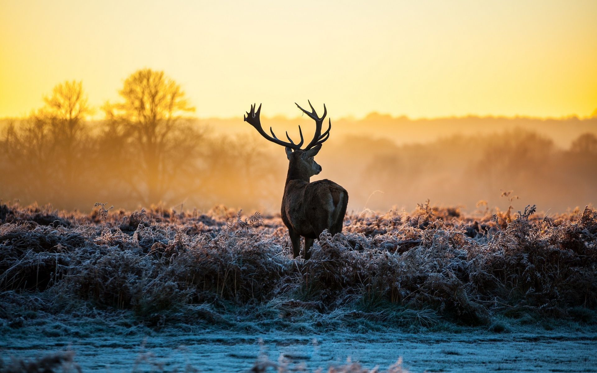 Deer In Winter Morning Hd Desktop Background HD Wallpapers