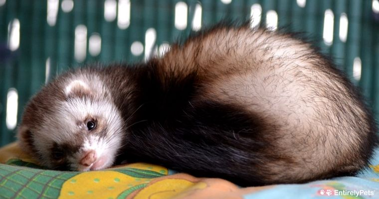 Sophie Is Known For Being The Cutest Little Rascal Cute Ferrets Pet Ferret Funny Ferrets