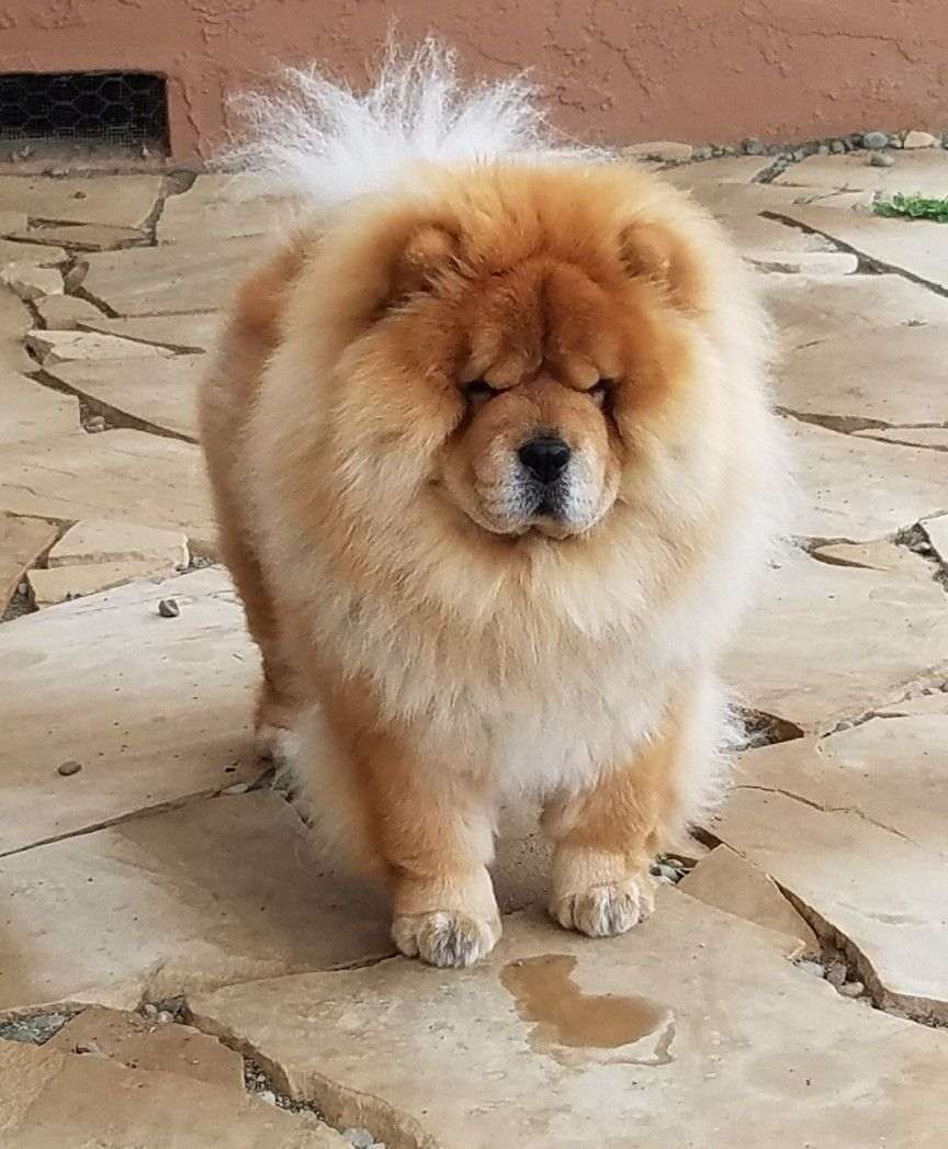 Pin By Kirsten Whitfield On My Chow S Chow Chow Dogs Chow Dog