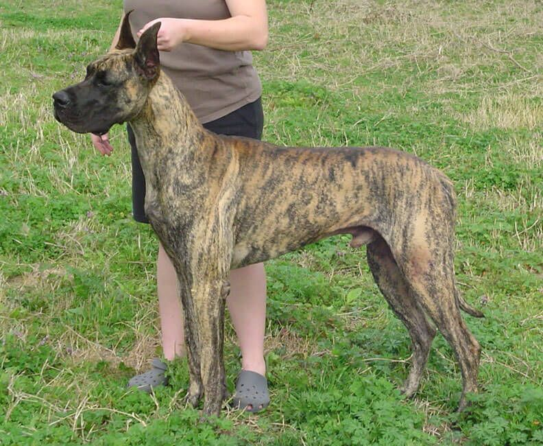 Great Danes Love Children But Need To Be Supervised As Their Size
