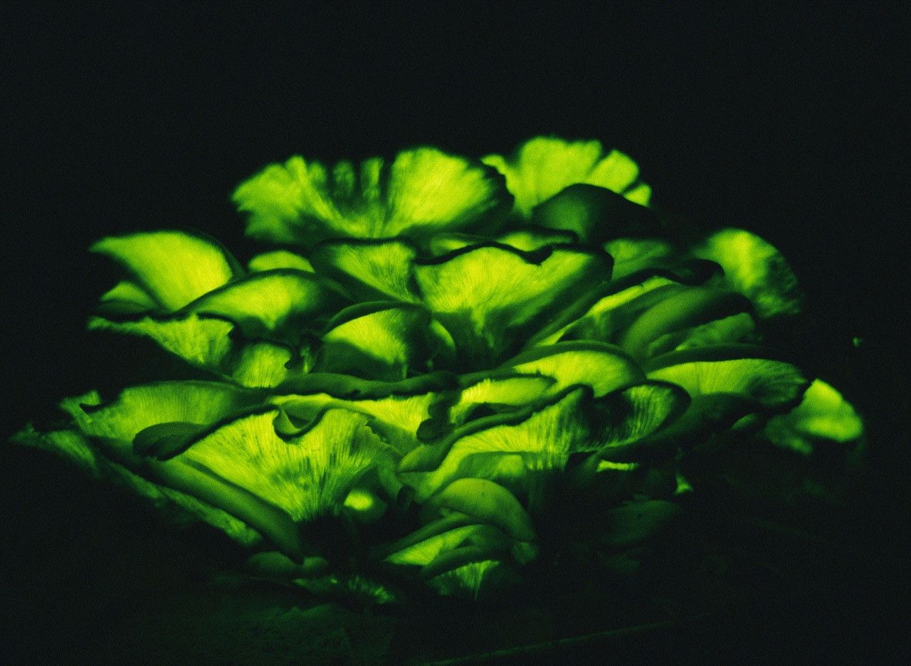 The bioluminescent Omphalotus Olearius - Jack O' Lantern ...