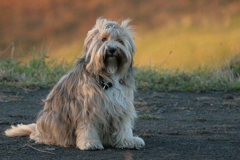Die Rasse des Tibet Terriers Tibet terrier, Terrier, Tibet