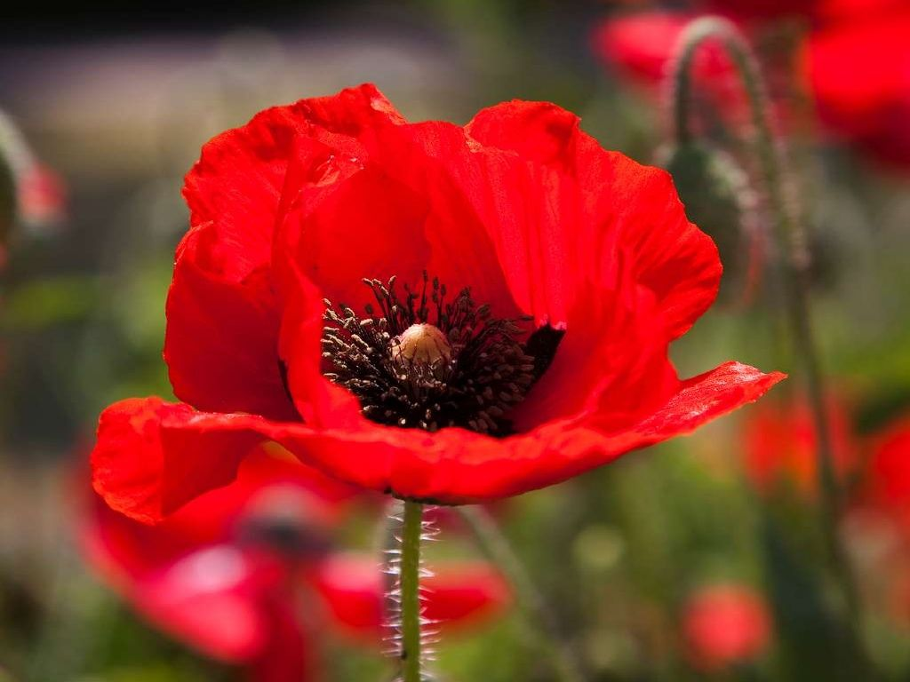 Beautiful Poppy Flowers Flowers Pinterest Poppy Flowers And