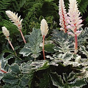 ACANTHUS Mollis U0027Whitewateru0027 Zone 7 · Garden ShadeGarden PlantsAcanthus Perennial ...