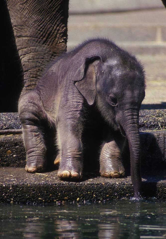 Elephant Ears Radiate Heat To Help Keep These Large Animals Cool