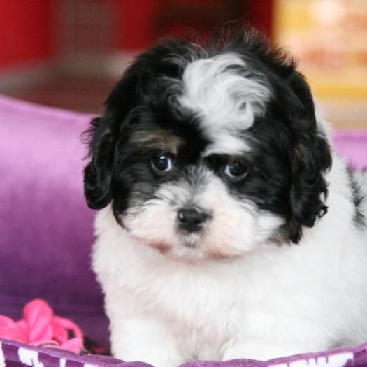 Bridgette Shihpoo [Shih Tzu & Toy Poodle] shihpoo