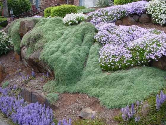 groundcover wooly thyme on steep slope i like how it flows over the contours - Ground Cover Ideas