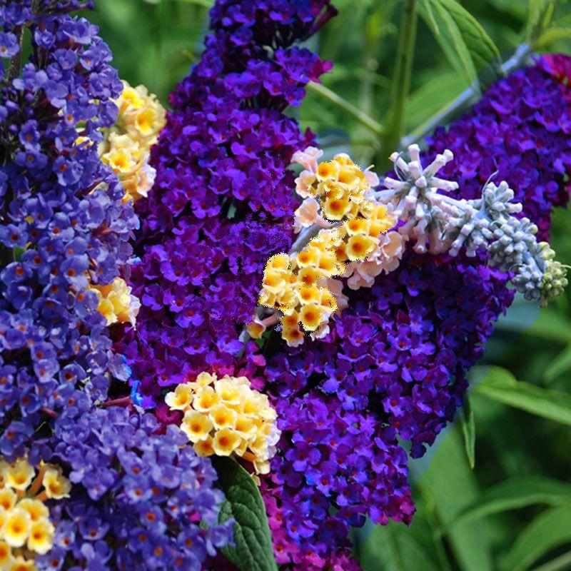 Buddleia Black Knight Is A Favorite Purple Butterfly Bush