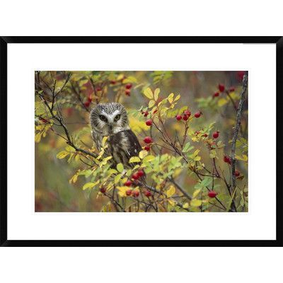 Global Gallery Northern Saw-Whet Owl Perching in a Wild Rose Bush, British Columbia, Canada by Tim Fitzharris Framed Photographic Print Size:
