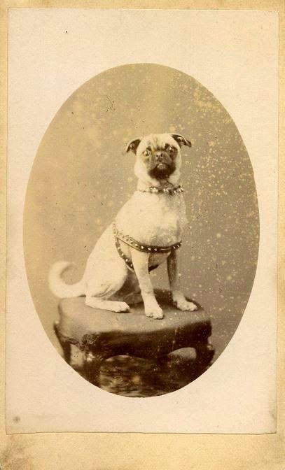 Vintage Pug Photo Pugs Pug Dog